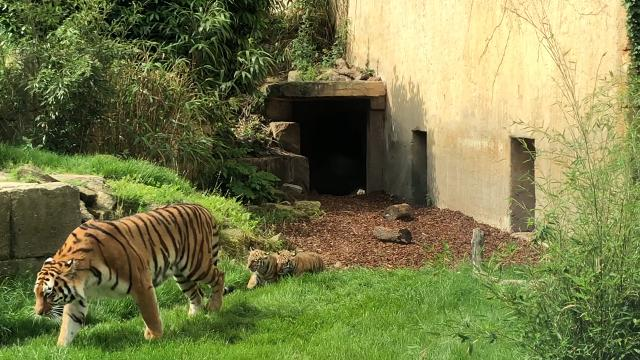 Tiger-Babys im Zoo Hannover