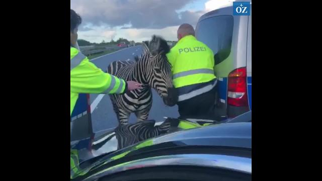 Zebra auf der A 20 (Video : Tilo Wallrodt  | 02.10.2019)