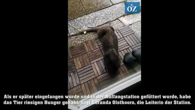 Otter in Gellenthin zu Besuch (Video: Tilo Wallrodt/privat, 17.07.2020)
